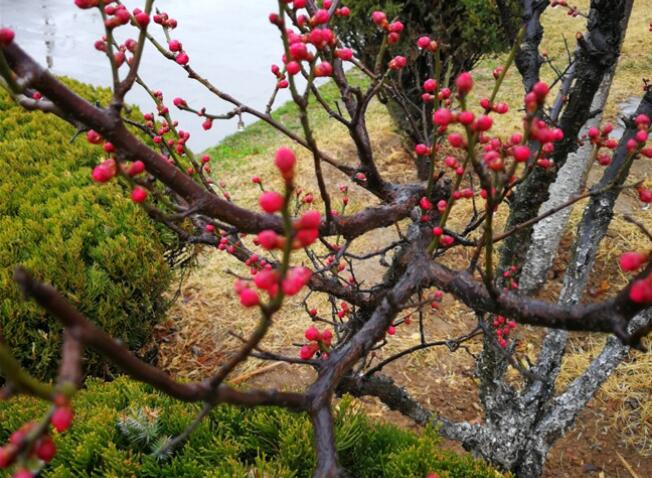 春雨霏霏生机盎然 大沽河白梅盛放红梅含苞(组图)