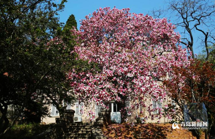 春到青岛玉兰花开满枝头 各区市最全赏花攻略出炉