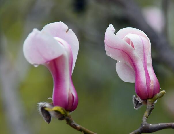 高清:青岛有一种春天叫玉兰花开 娇艳欲滴俏枝头