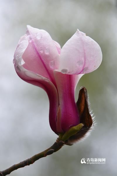 高清:青岛有一种春天叫玉兰花开 娇艳欲滴俏枝