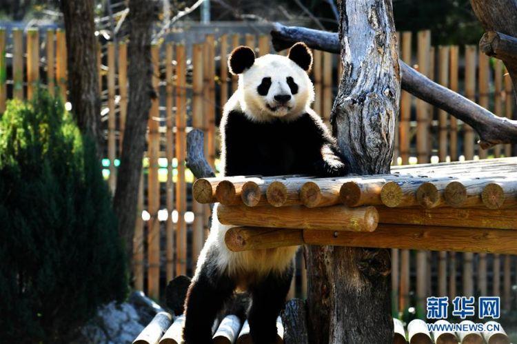 """回中国,2017年出生的""""竹莉娜""""目前和爸爸妈妈一起生活在马德里动物园."""