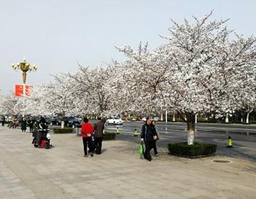 @潍坊人 又到樱花盛开时 文明赏花须注意
