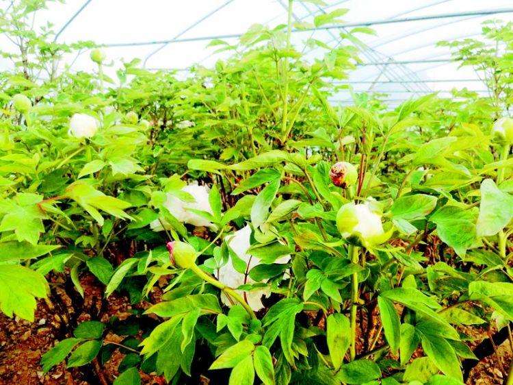 菏泽牡丹进入花季 清明假期将迎首个赏花小高峰