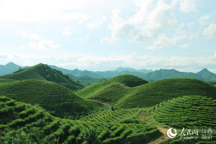航拍遂川茶山:茶产业富了百姓 美了乡村