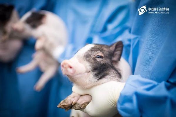 世界首例神经疾病模型猪诞生 推动阿尔兹海默症等疾病治疗