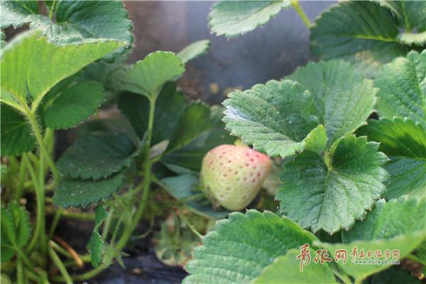 """""""网红新贵""""!青岛这地方种的白色草莓每公斤卖120元"""