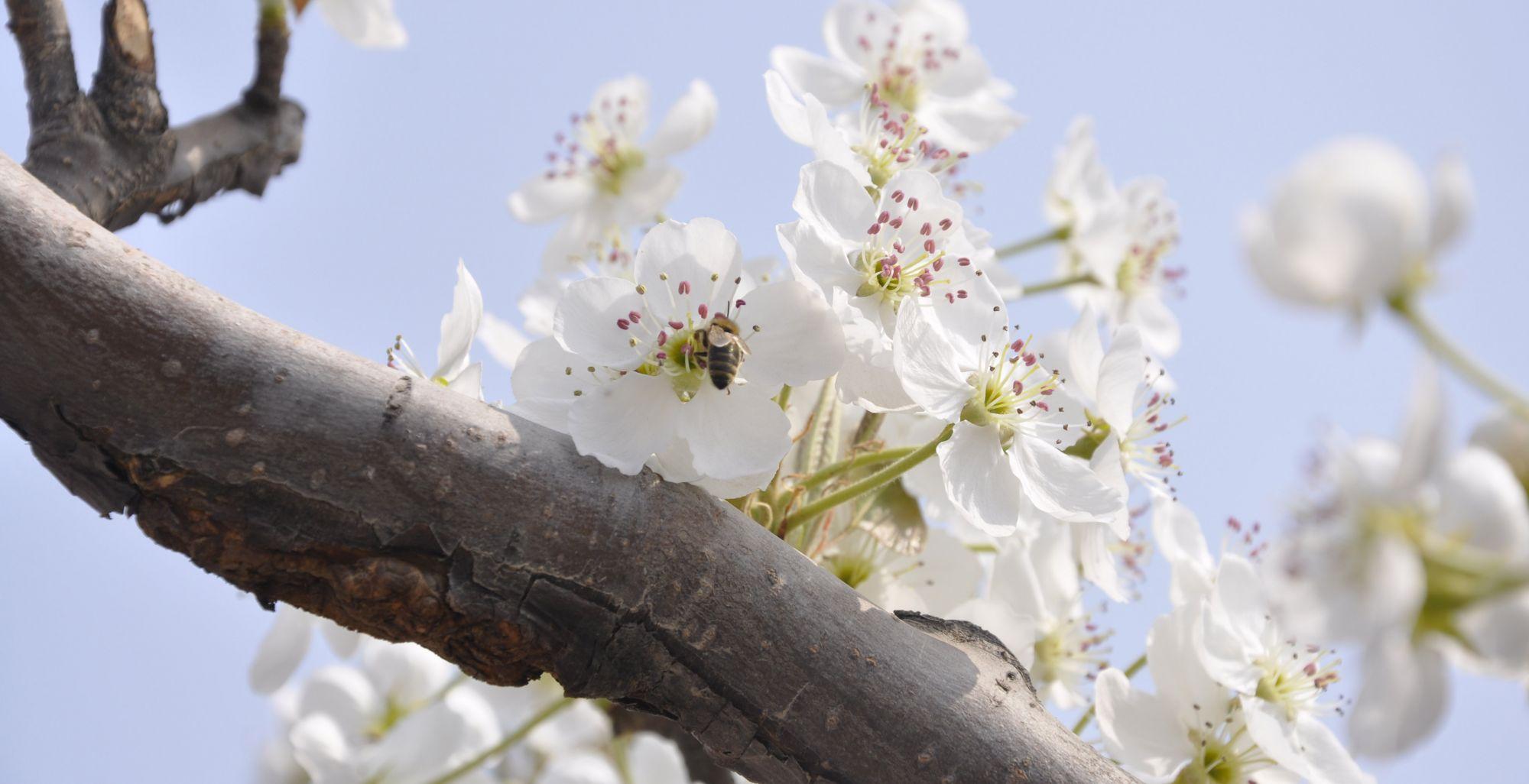美爆了!冠县万亩梨花竟相绽放 铺玉堆雪如游仙境(组图)
