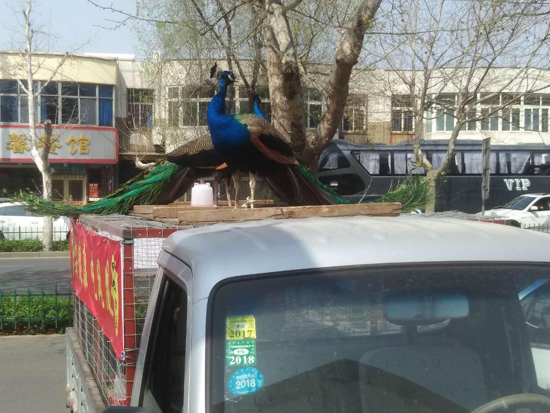 周村城区现商贩当街卖孔雀声 声称可食用