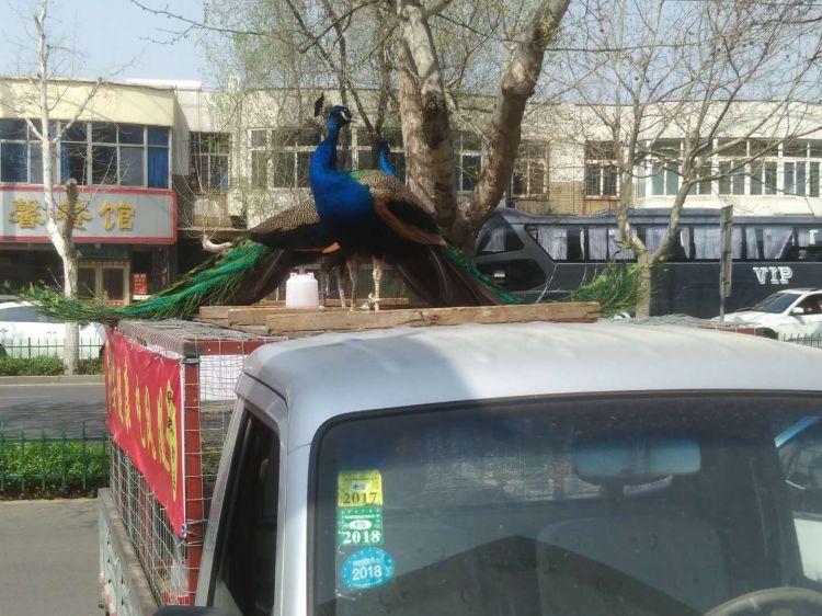 周村城区:商贩当街卖孔雀声 称可食用