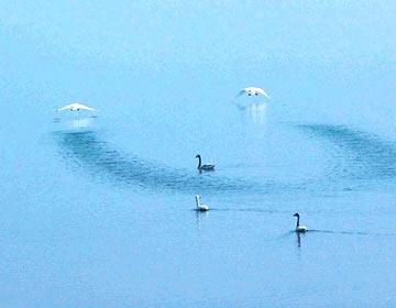 快来看!邹平辛集洼水库惊现一群美丽的天鹅