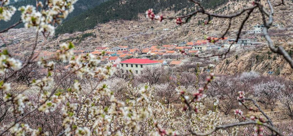 花开齐鲁丨晒春日乡村原生态美图 告诉你花季青岛之魅
