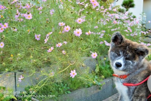 资料图:日本秋田犬。(资料图:日本秋田县大馆市官网)