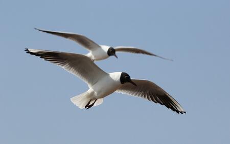 青岛红嘴鸥陆续迁徙返程 市民前来为其践行