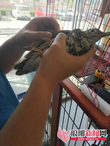 临沂一只虎斑地鸫受伤落地 热心网友展开接力救鸟