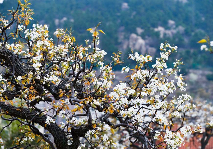 高清:今日最高温19℃ 崂山百年梨园悄悄地开花了