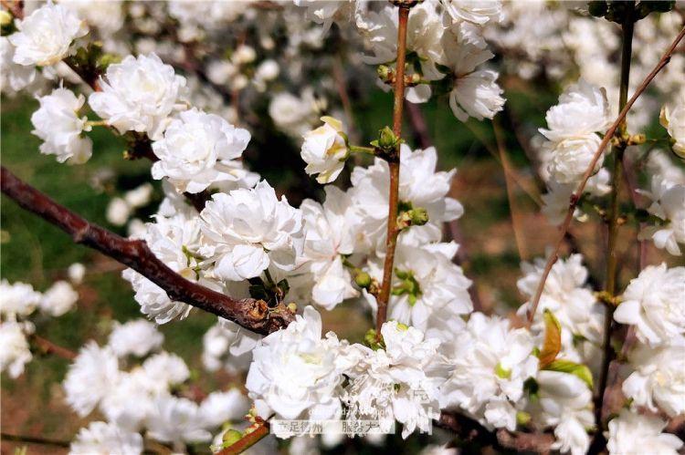 四月芳菲季 漫步感受德州春暖花开