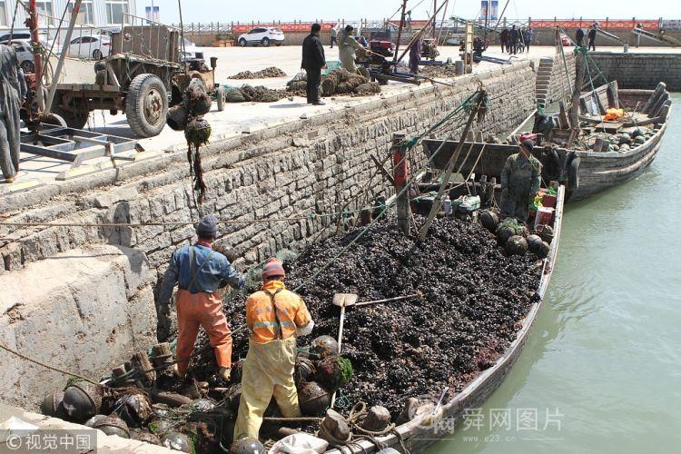 山东日照海虹大丰收 渔港一片繁忙景象