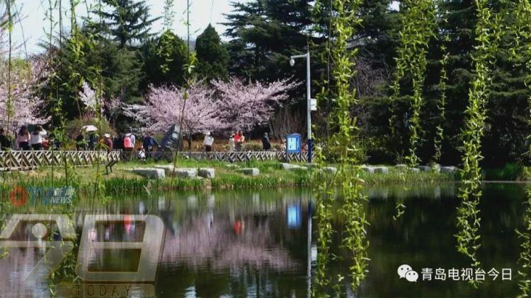 来来来 中山公园用樱花和郁金香告诉你什么叫美到爆棚
