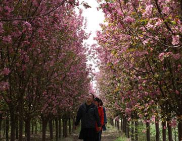 滨州:海棠花开引客来