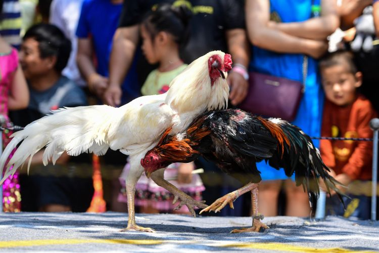 泼水节上观斗鸡