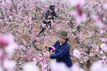 沂源:果花盛开果农忙
