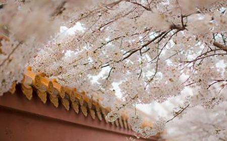 4月青岛樱花争艳 最全赏花攻略请收好