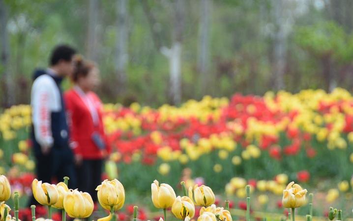 济南植物园郁金香盛开 游客在缤纷里驻足拍照