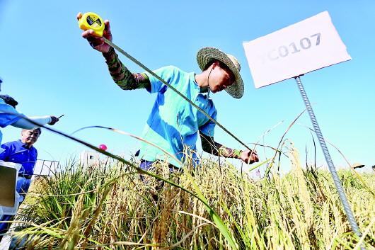 """青岛""""海水稻""""将全国大范围试种"""