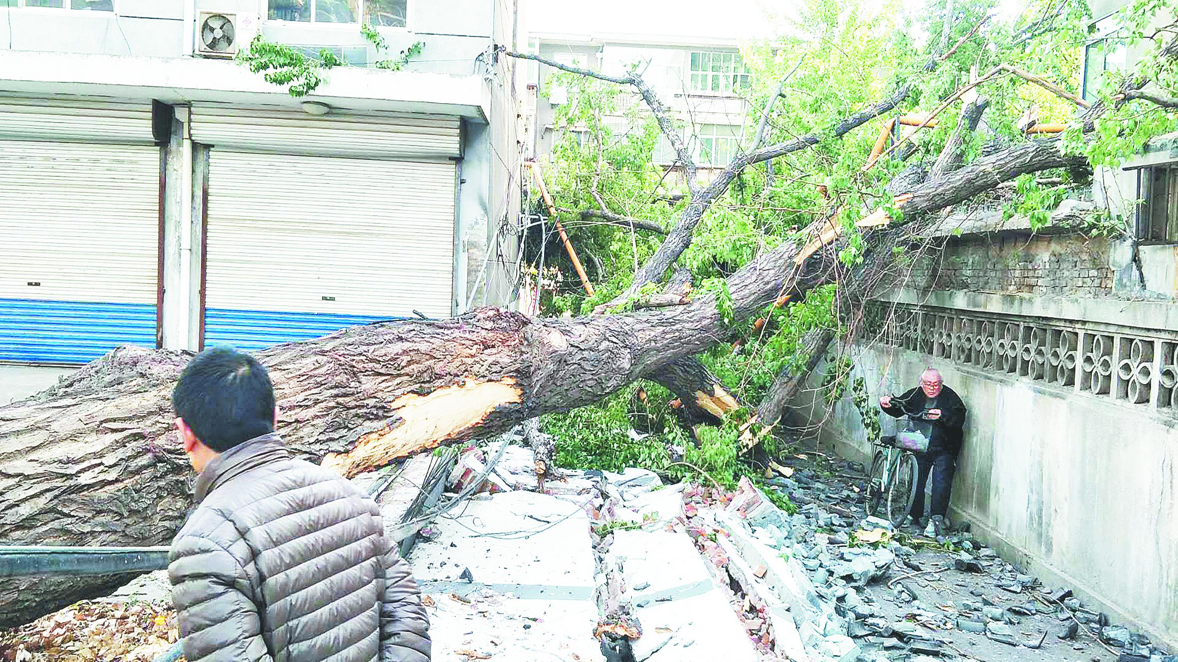 20米高大树半夜栽倒 砸毁院墙和燃气管道