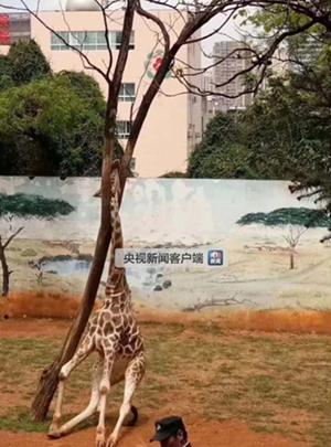 昆明动物园一长颈鹿蹭痒 头部被卡树杈致死
