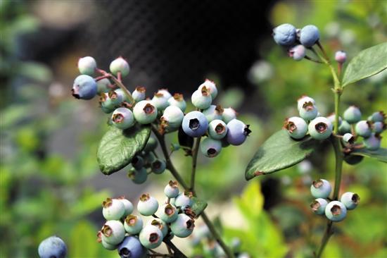 """东莞果农成功实现""""北果南植"""" 蓝莓产量将达万斤"""