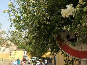 临沂:陵园东街转弯处的木香花惊艳了行人