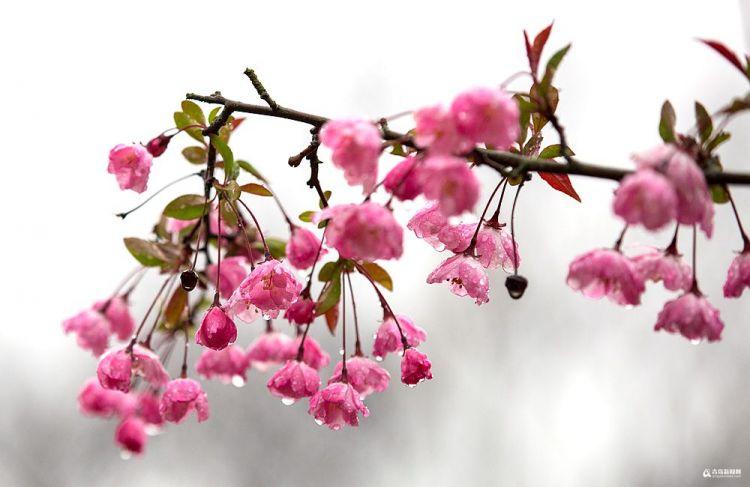 高清:最美不过雨花图 4月青岛有这么一种浪漫玩法
