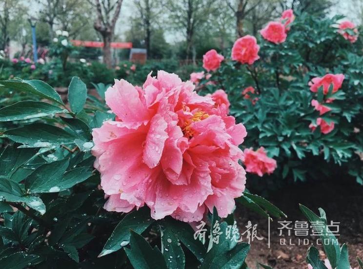 雨中的校园美翻了 青岛农大牡丹花娇艳欲滴(组图)