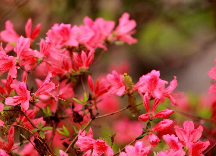 双珠联动同唱《映山红》 杜鹃花开赏花再掀高潮