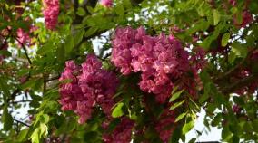 张店莲池公园紫槐盛开 园林部门:好看不宜吃