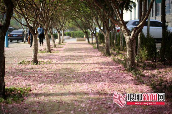临沂最美街道|蒙河路:樱花凋谢 花谢花飞花满天