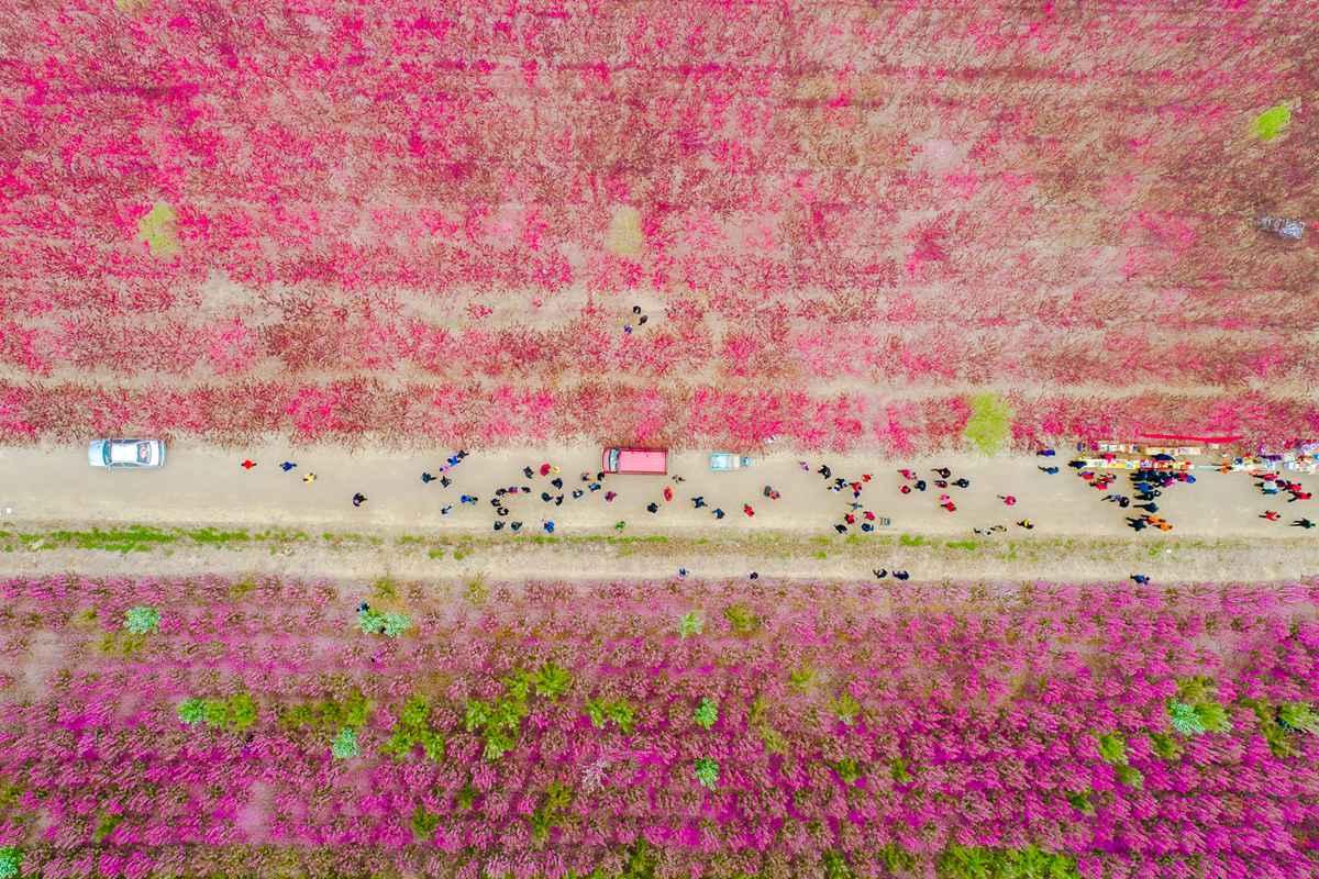 春满黄河滩!航拍邹平2000亩海棠花盛宴