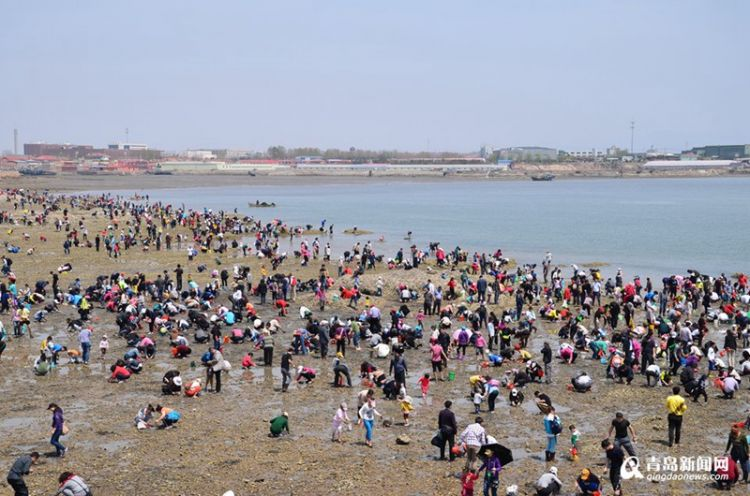 五一小长假挖蛤蜊去 红岛蛤蜊节最全攻略看这里(图)