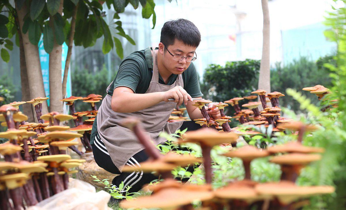 2017年7月6日, 青岛,大学生鹿秀栋在即墨市大信镇华盛绿能创客基地制作灵芝盆景。