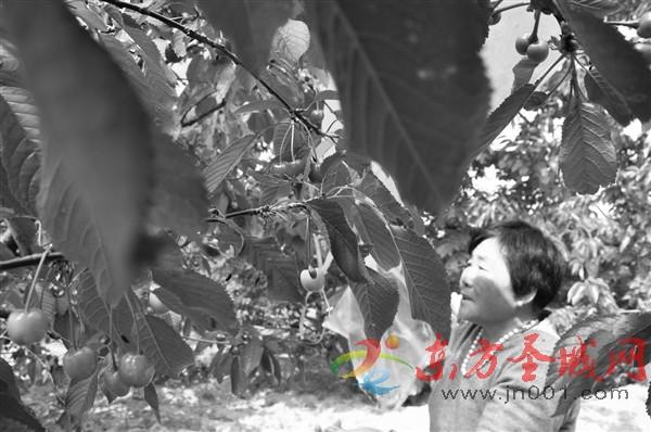 30年樱桃种植路 托起新时代农民致富梦