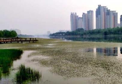 大量水草覆盖聊城徒骇河河面 市民盼及时打捞清理