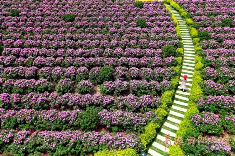 3000亩玫瑰花海将开放 青岛这个地方要美成童话(图)