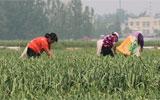 聊城沙镇鲜蒜苔丰产价格却遇冷 供求失衡是主因