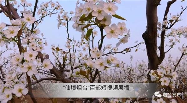 """【""""仙境烟台""""百部短视频展播】—— 梨乡爱梨人"""