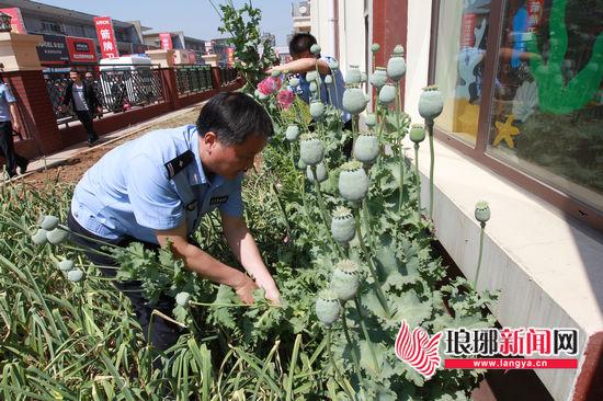 临沂兰陵一幼儿园及小区偷种罂粟被民警依法清理