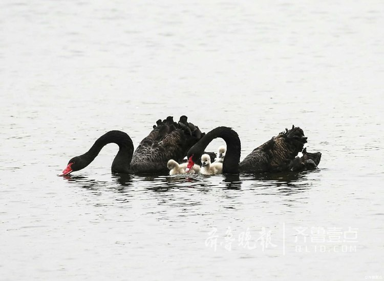 泰安:黑天鹅父母比心,天鹅宝宝身边绕