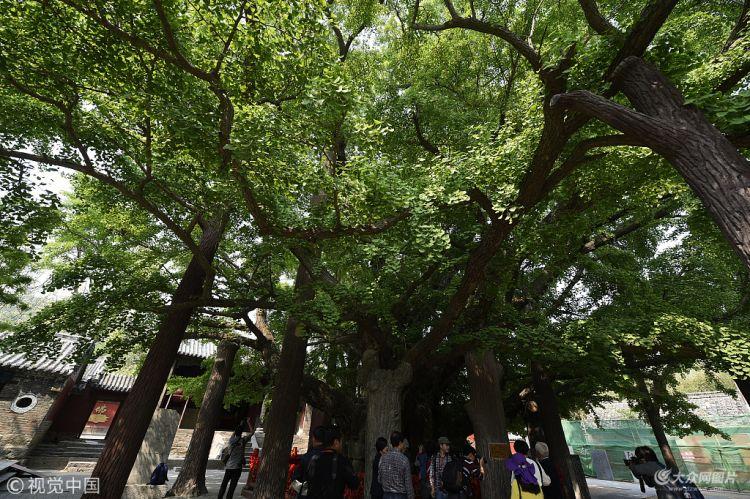 日照:天下第一银杏树枝繁叶茂