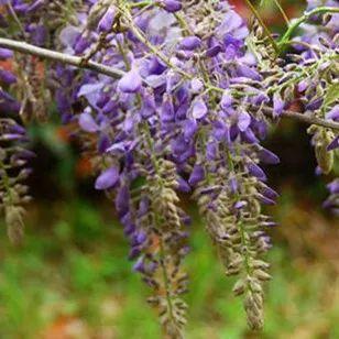 错过要再等一年 隐藏在青岛的紫藤花瀑布美炸了(图)
