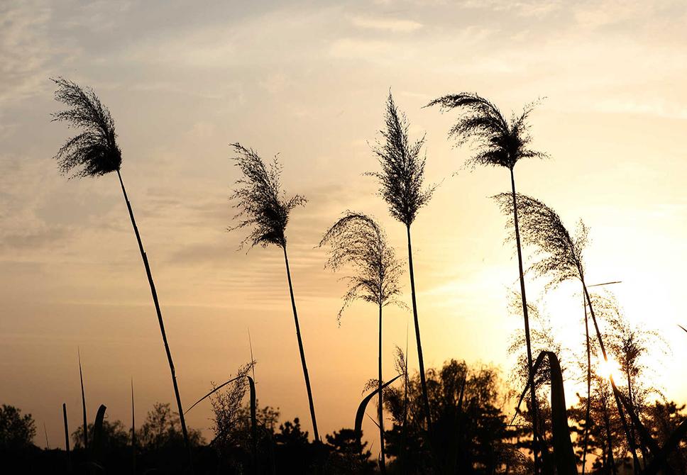 威海:实拍夕阳湿地公园 芦苇与彩霞相辉映
